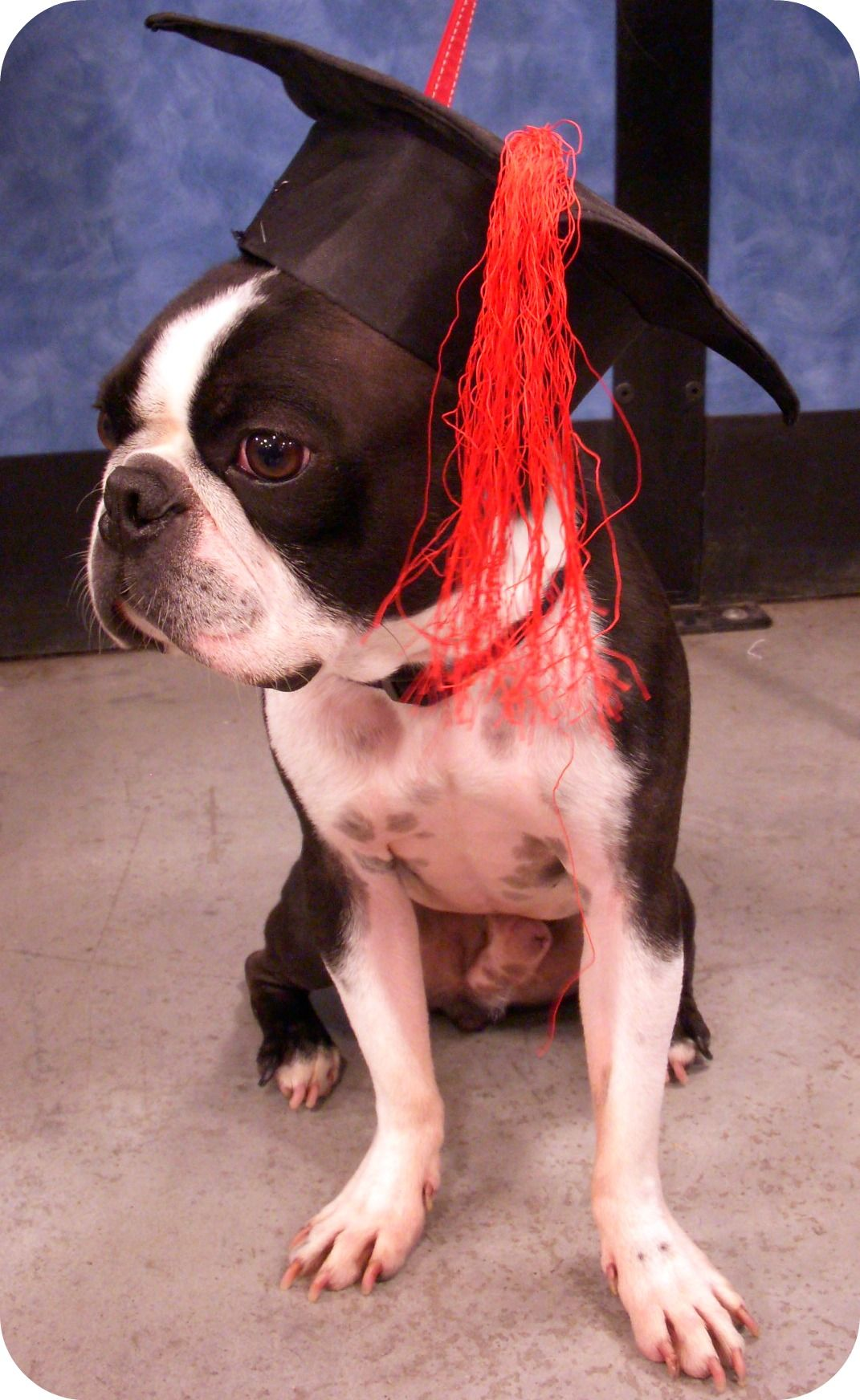 Baxter The Graduate Boston Terrier Terrier Puppies