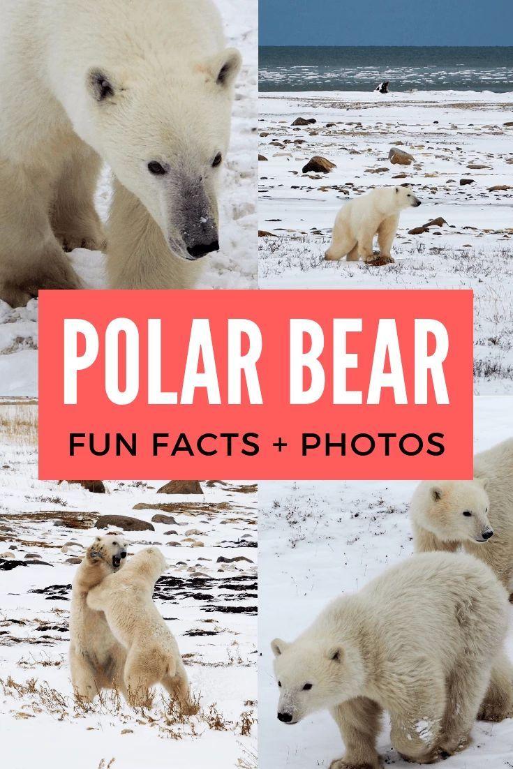In the Land of the Ice Bears Polar bear fun facts, Polar