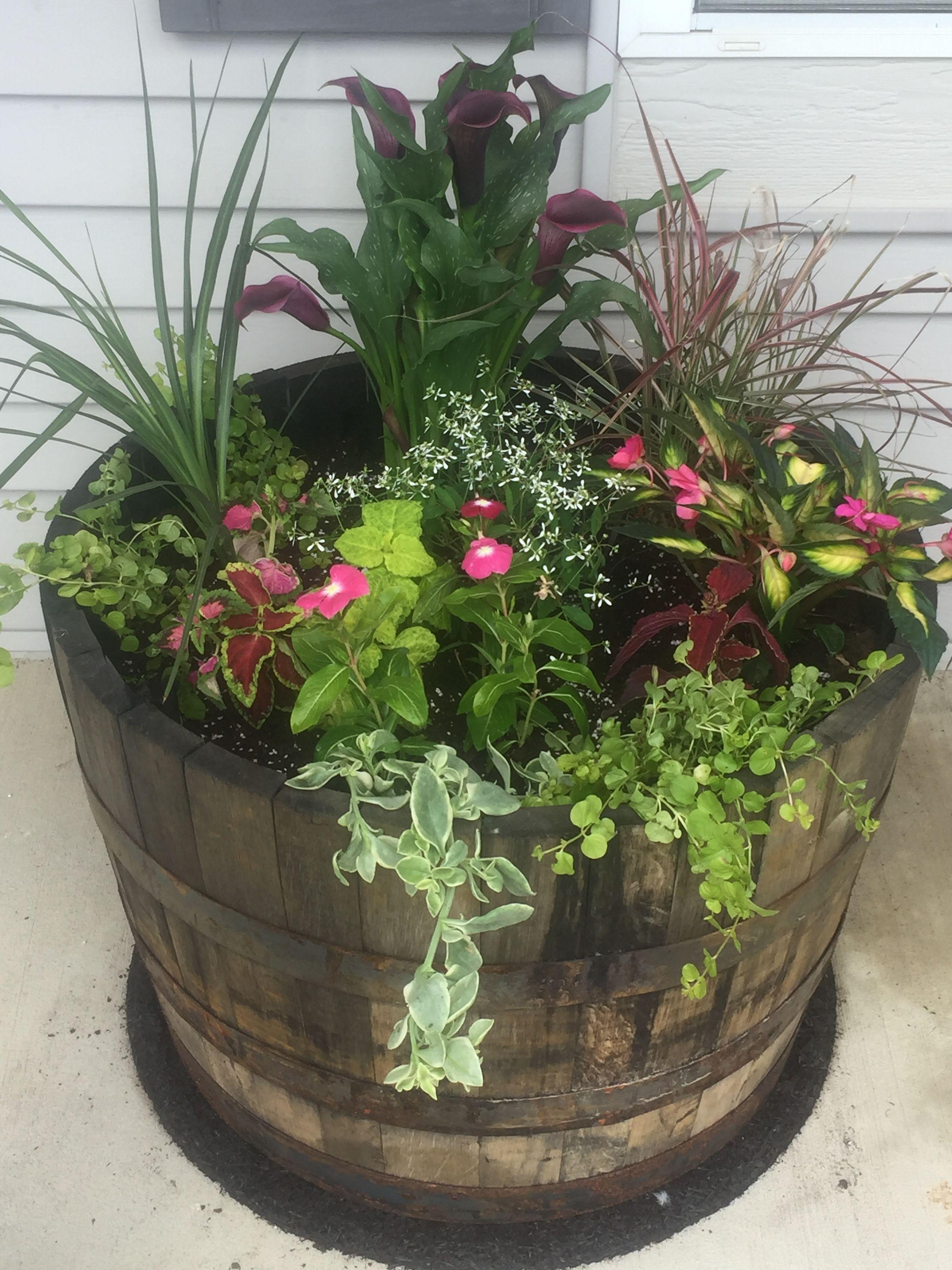 Whiskey Barrel Planter Summer 2017 Calla Lily Spikes Fountain Grass Impatiens Vinca Euphorbia Coleu Wine Barrel Planter Garden Plant Pots Barrel Planter