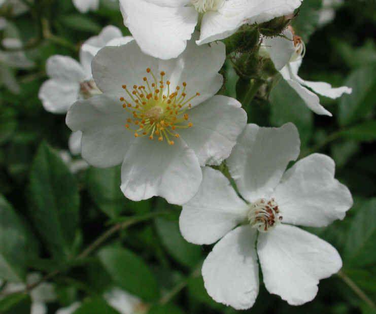 Wild rose rambling rose five petal flower vine google search wild rose rambling rose five petal flower vine google search mightylinksfo