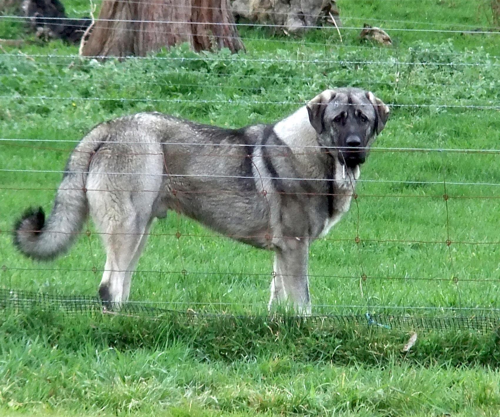 wolf sable Anatolian Shepherd Dog livestock guardian dog