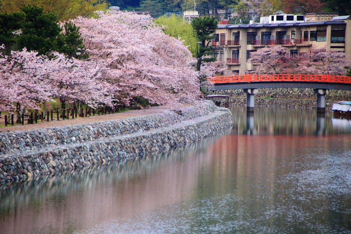 京都府宇治市にある宇治川の桜と散り桜。風情ある水辺の桜の情景。美しいピンクと白の散り桜など。多くの桜の木があり、京都の桜の名所となりつつある宇治川。2016年4月8日訪問、撮影。