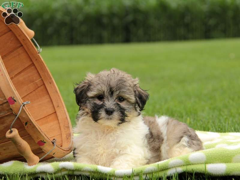 Shichon Teddy Bear Puppies For Sale In Pa Shichon Puppies