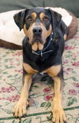 Labrottie Dog For Adoption In Salem Or Adn 468948 On Puppyfinder