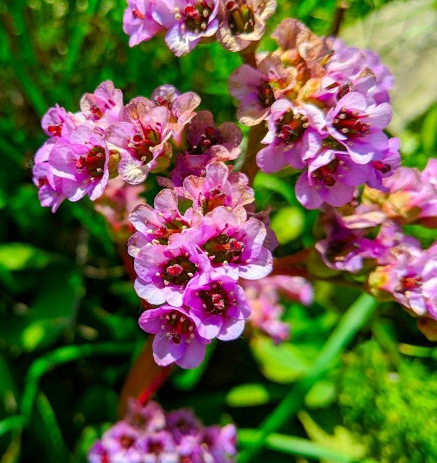 Bergenia cordifolia flower Flowers name list, Perennial