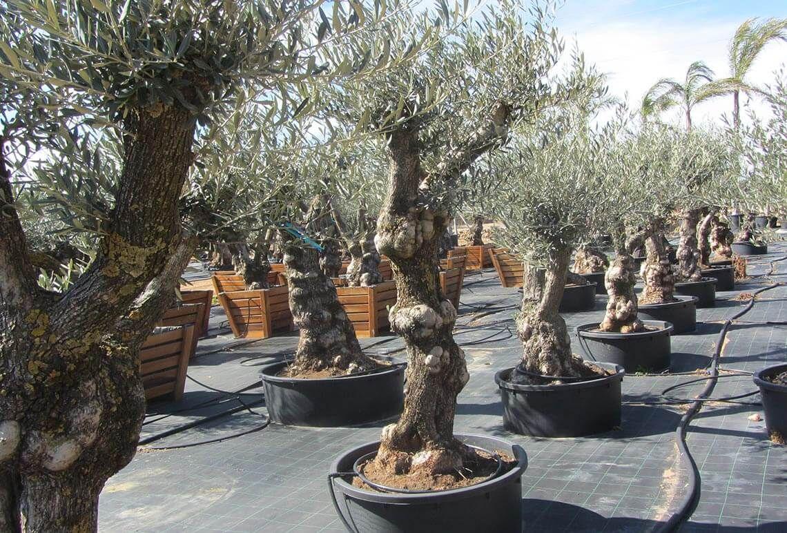 Olivos centenarios hojiblanca ginart oleas 4 olivo en - Olivo en maceta ...