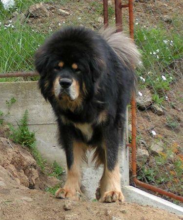 Tibetan Mastiff - Senge - Molosser Dogs Gallery