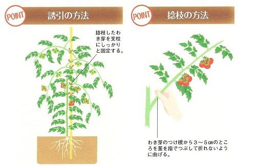 とまとの整枝 連続摘芯栽培 家庭菜園 野菜のガーデン 栽培