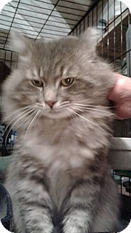 ADOPTED! Stafford, VA - Maine Coon. Meet Brutus, a cat for adoption. http://www.adoptapet.com/pet/16796956-stafford-virginia-cat
