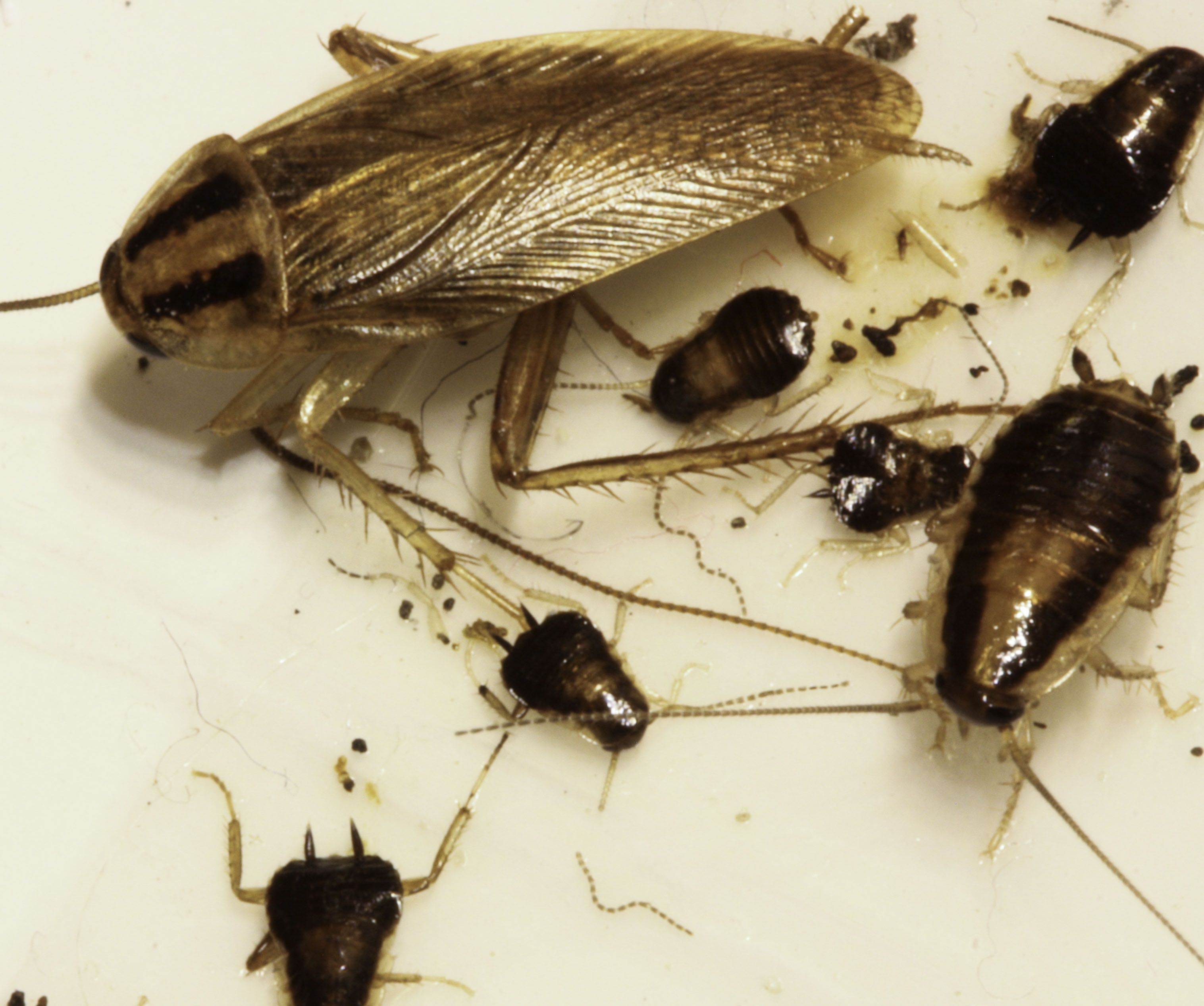 . How to Get Rid of Baby Roaches  Cockroach    Bed Bugs   Pest Control
