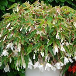 Begonia 'Summerwings White' * Annual *  has crisp, white, single flowers with large, oblong petals. It is self-cleaning and will bloom bountifully from May to September when placed in a sunny position with fresh air. Perfect for hanging baskets and tall containers. * Proven Winners