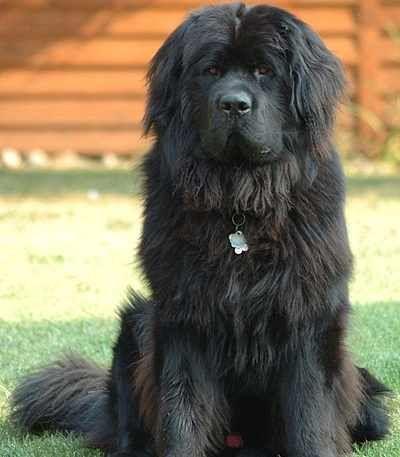 10 Largest Dog Breeds Curiosity Aroused Big Dog Breeds Best