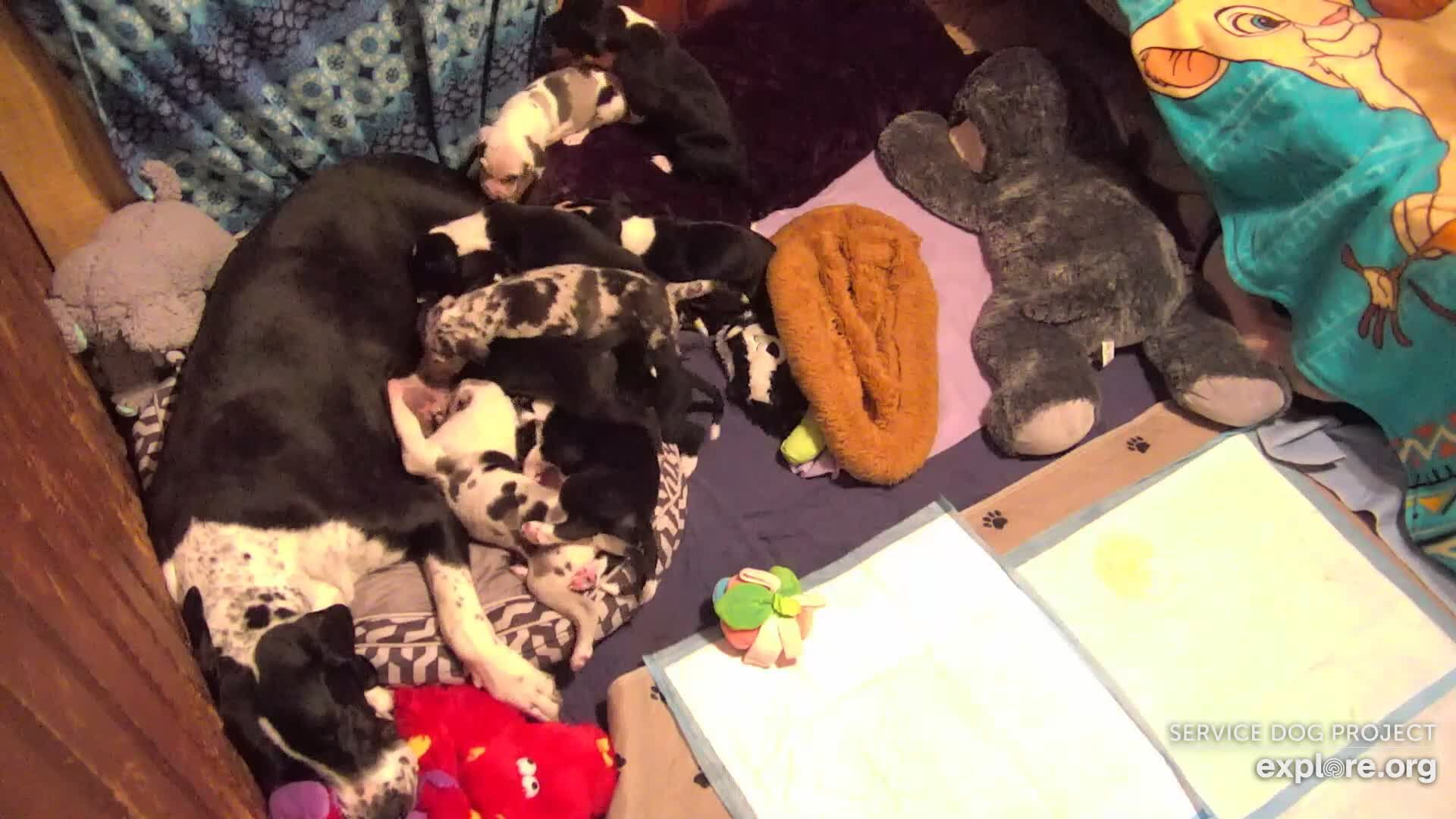 I'm watching the Service Dog Project Nursery Cam on