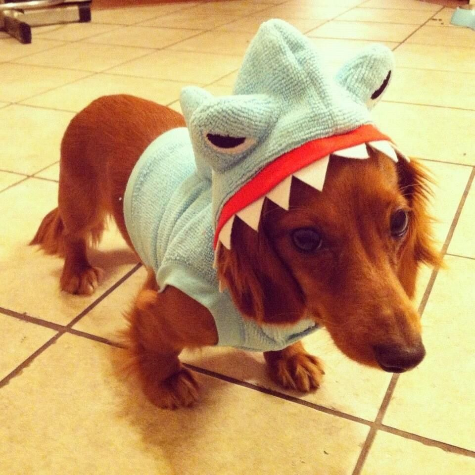Post with 2391 votes and 585529 views. Hungry Shark( Actually a dog! & my second favorite animal eating my first favorite animal | Heu0027s so ...