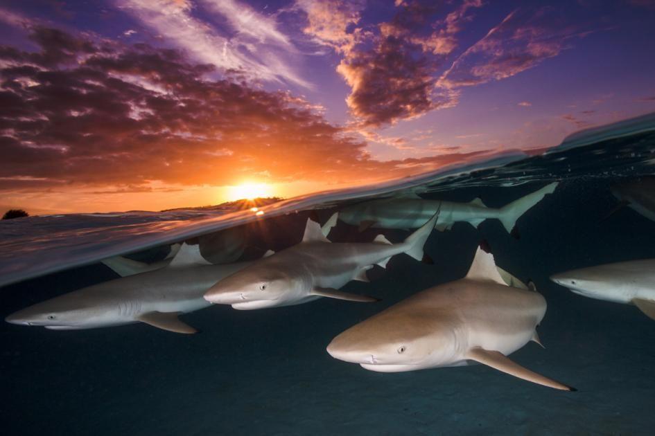 Die besten Unterwasser-Fotografien des Jahres: Sandtigerhai