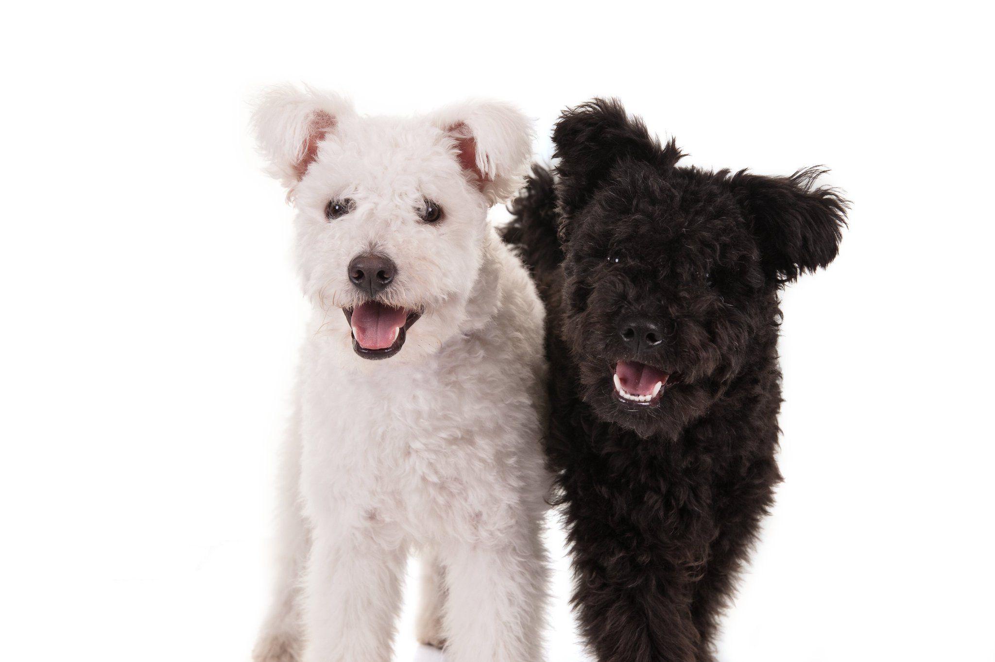 Pumi Dog Breed Information Pumi dog, Dog breeds, Dogs