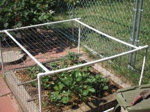 PVC frame with chicken wire. Strawberry protection.