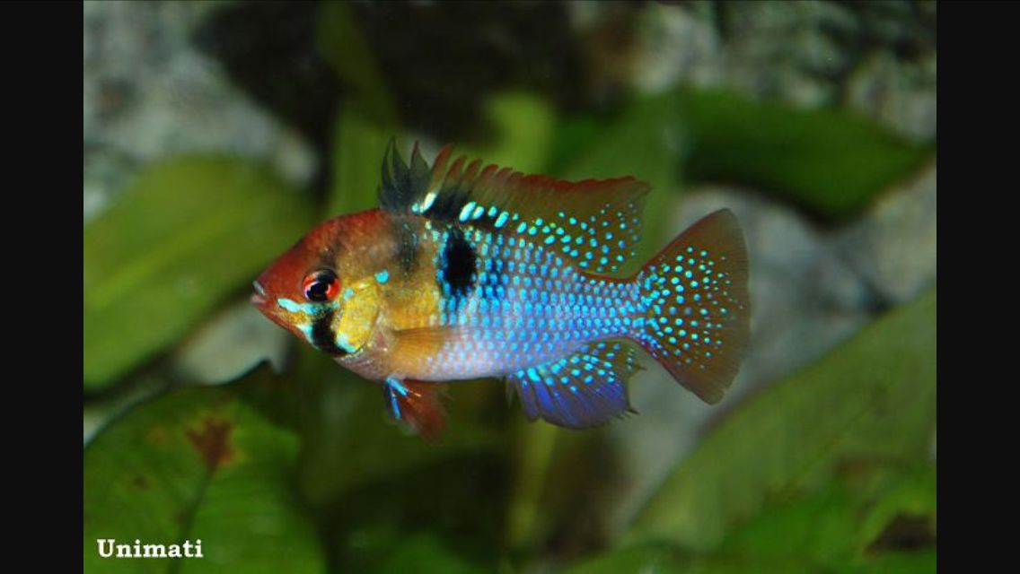 Apistogramma Ramirezi Aquarium Fish Cool Fish Tropical Fish