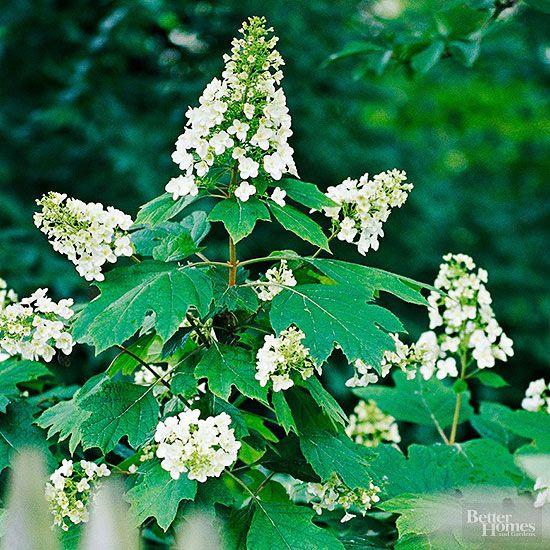 Arbustos para cultivo en sombra Arbustos, Sombras y La sombra