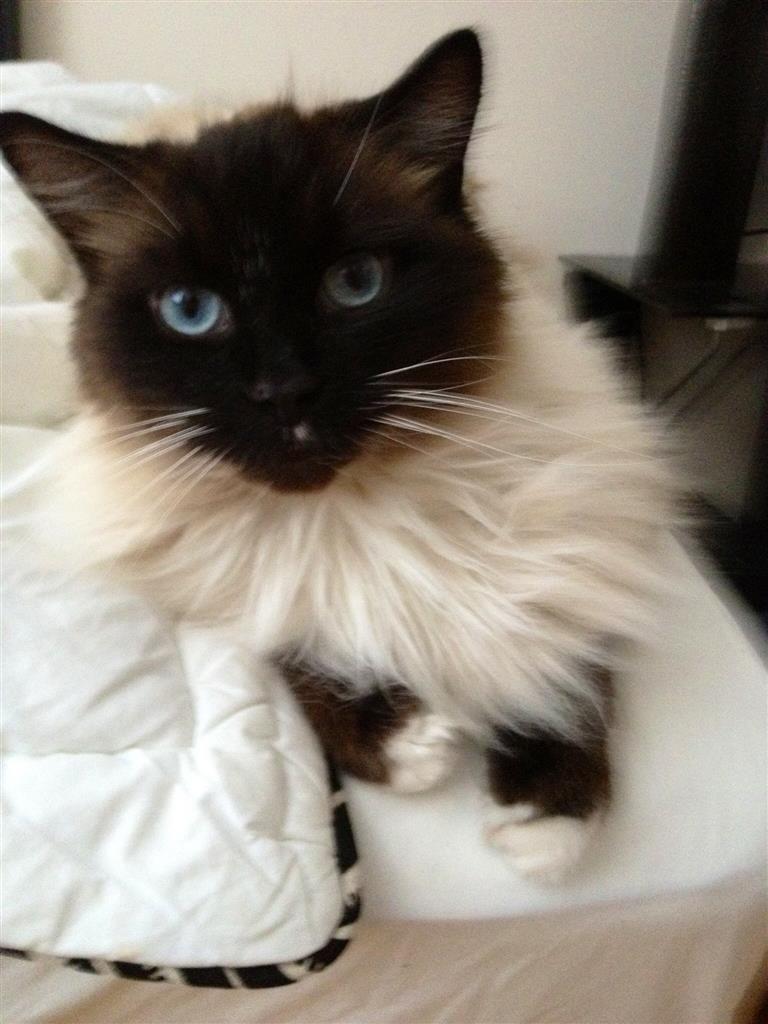 Lost Cat Ragdoll Hamilton, ON, Canada L8K 5N5 Lost