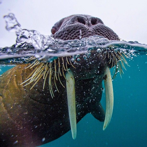 So friendly looking...kinda like a Dr. Seuss creation...but oddly not as friendly as the picture the whiskers paint. This largeish walrus in #FranzJosephLand #Russia was curious at first, then just outright in my face. They weigh thousands of pounds and are agile swimmers...and the 2.5 ft tusks can puncture just about anything...including zodiac (raft) material. Shot on assignment for