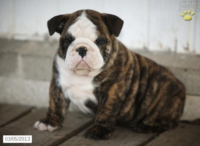 Buster English Bulldog Olde English Hybrid Puppy For Sale In Leola Pa English Bulldog Olde English Hybrid Pupp Puppies English Bulldog Care Cute Animals