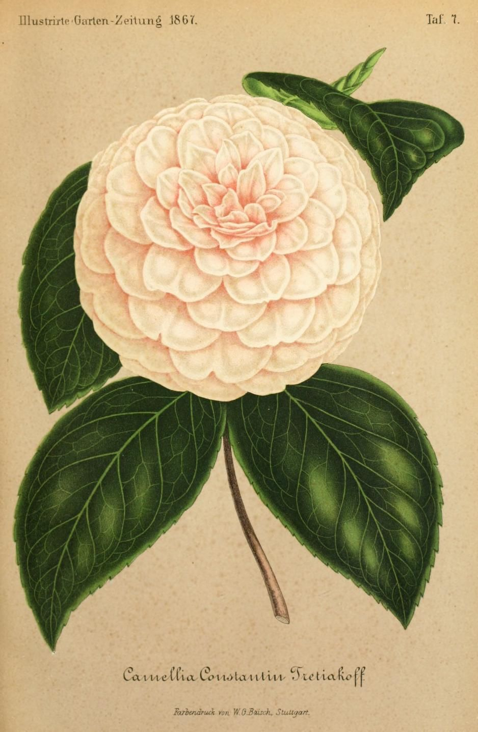 Bd 11 1867 Illustrierte Garten Zeitung Biodiversity Heritage Library Biodiversity Plant Leaves Pink Flowers