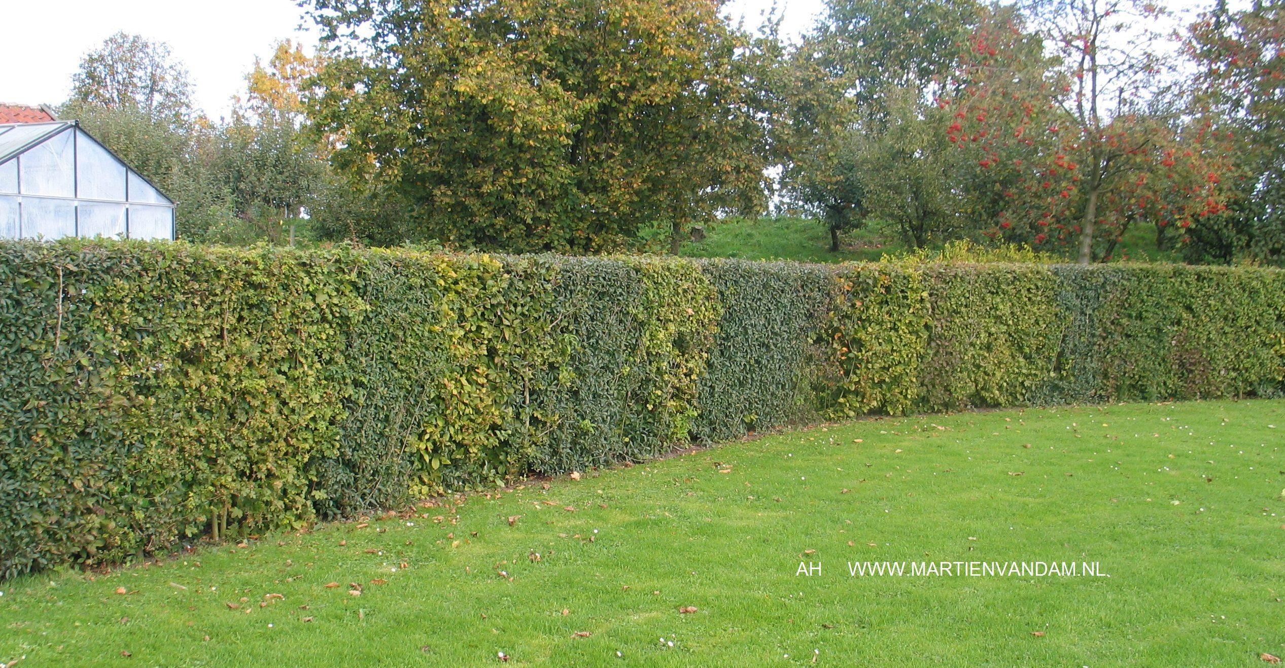 Tuin Hagen Soorten : Hagen zijn te vormen en in hoogte aan te passen prima