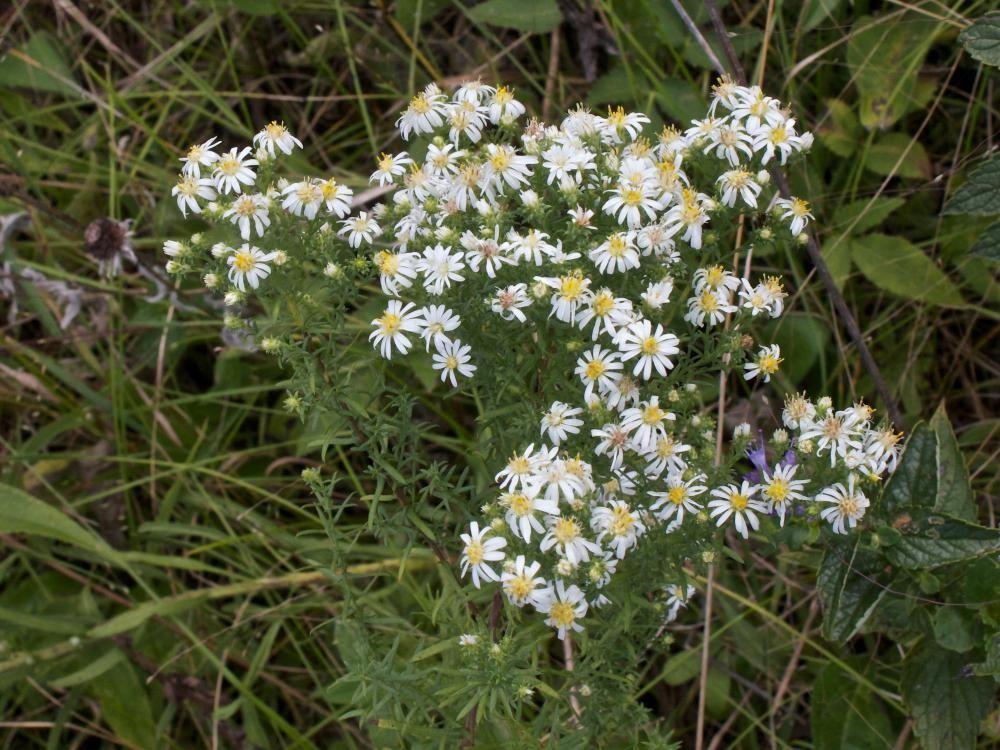 Heath aster - Symphyotrichum ericoides   Butterfly garden