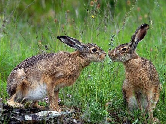Download Hare Stare Animals Animal Wallpaper Animals Kissing