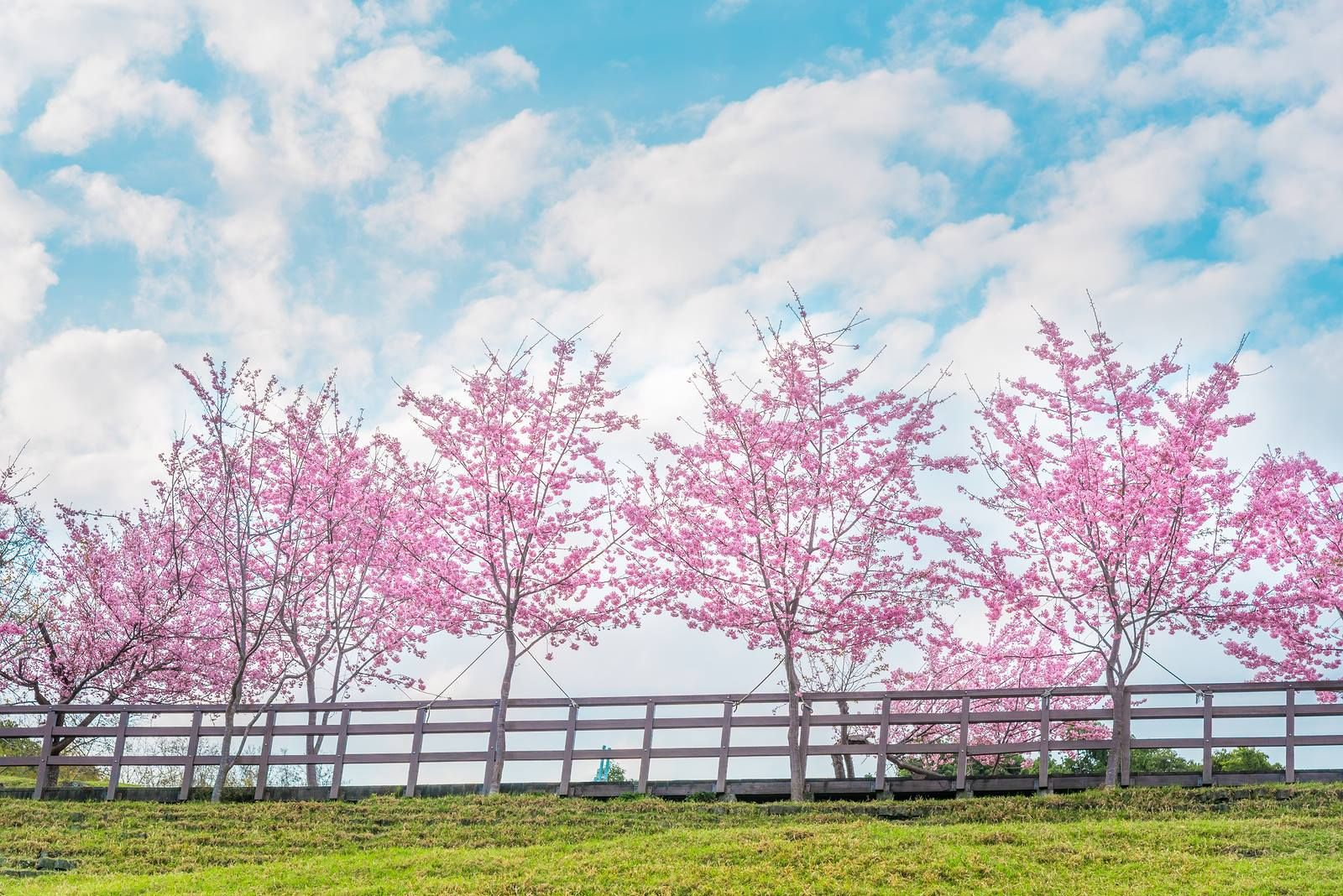 The Northern California Cherry Blossom Festival From April 14 22 Celebrates The Blooming Of Cherry Blossoms A Cherry Blossom Festival Bloom Northern California