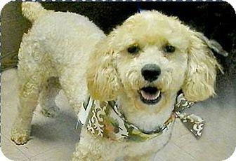 Mckinney Tx Poodle Miniature Meet Pearl A Dog For Adoption