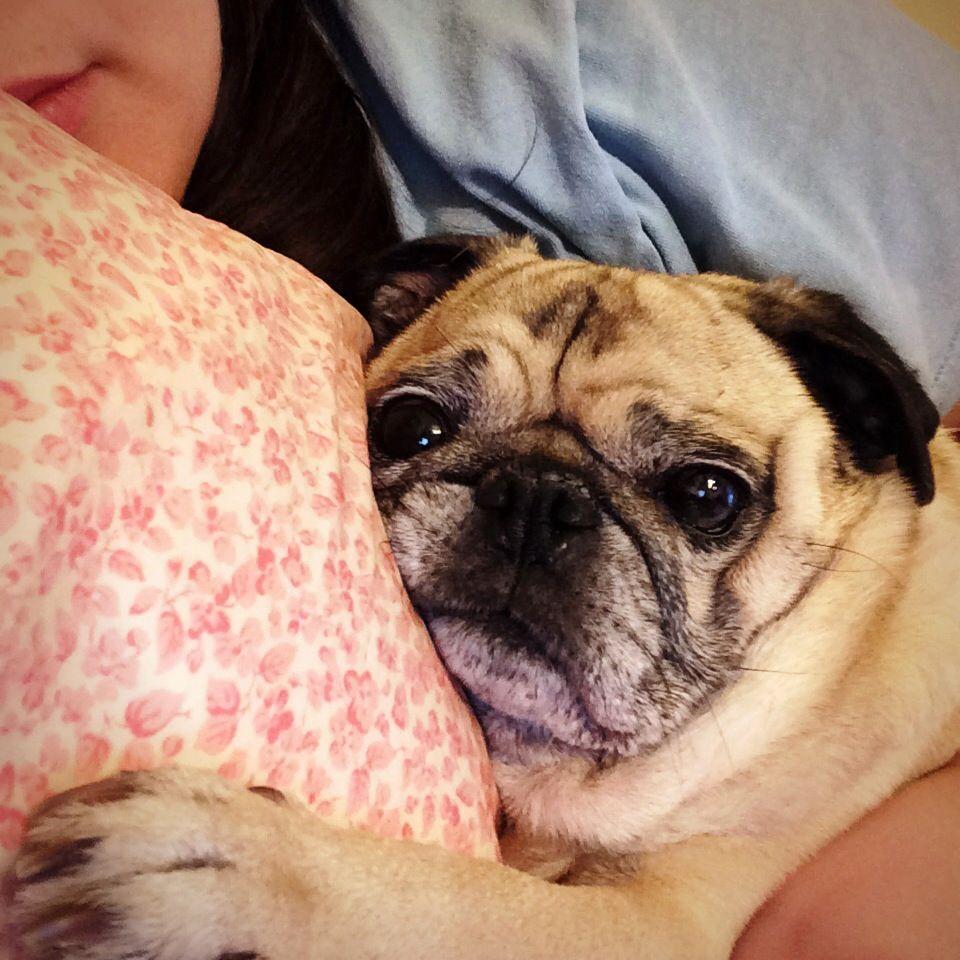 Sometimes The Perfect Pet Picks You Pugs Pug Love Cute Pugs