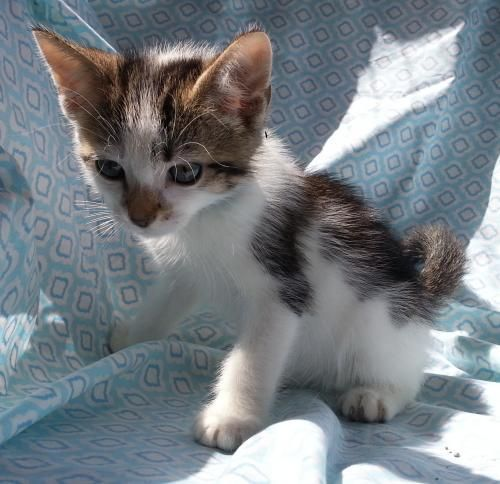Meet Felix 22484, a Petfinder adoptable Domestic Short Hair Cat | Prattville, AL | Felix is a 9-week old, brown/white male tabby.Dogs and puppies may be adopted for a fee of $120....