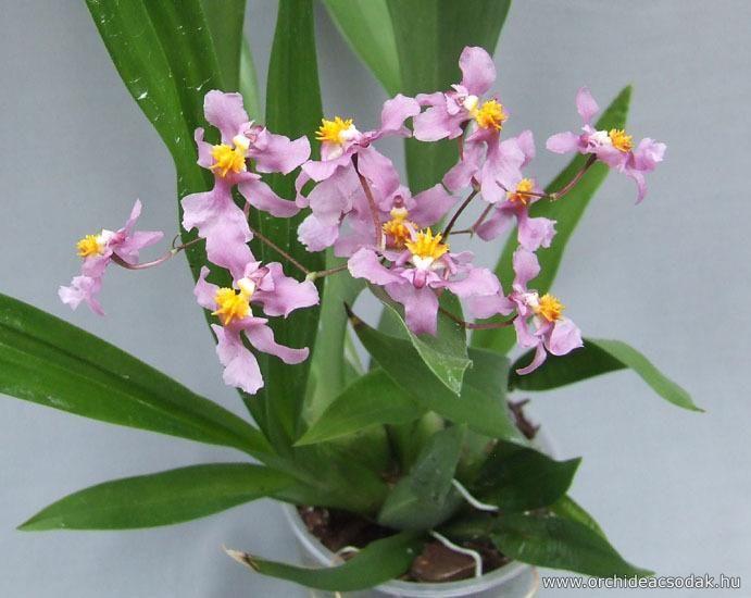 Oncidium Sotoanum Orchids Oncidium Plants