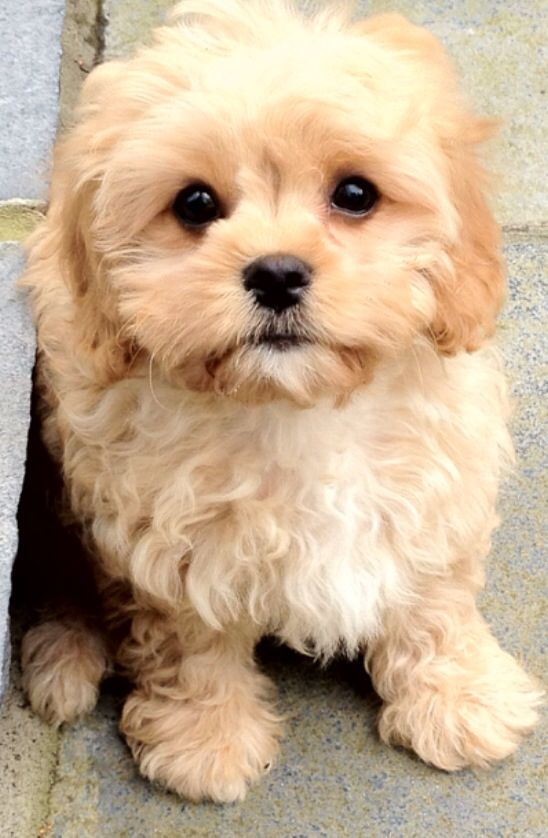 All I Want For Christmas Is A Cavapoo Designer Dogs Breeds