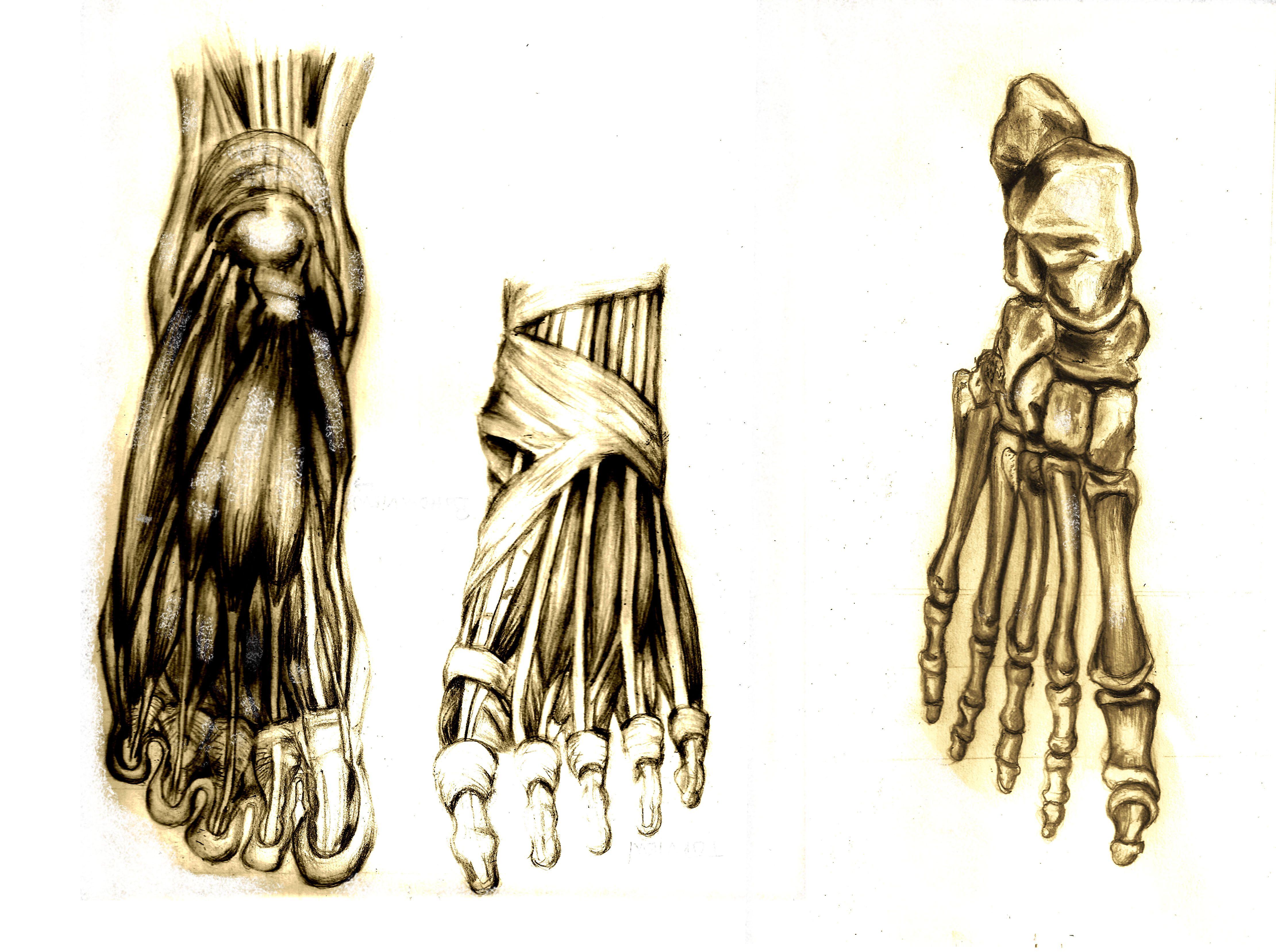 Drawing Amp Antonomies Study Of Feet Bone Amp Muscle By Edna