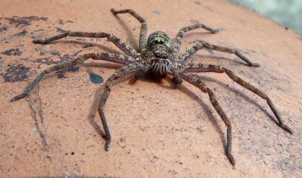 giant huntsman spider is roughly the size of a dinner plate (around 12\  across & giant huntsman spider is roughly the size of a dinner plate (around ...