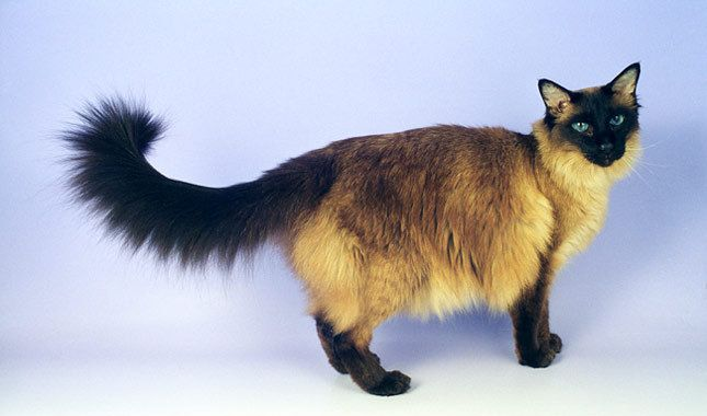 Balinese Cat Breed Information Balinese Cat Cat Breeds Siamese Cats Blue Point