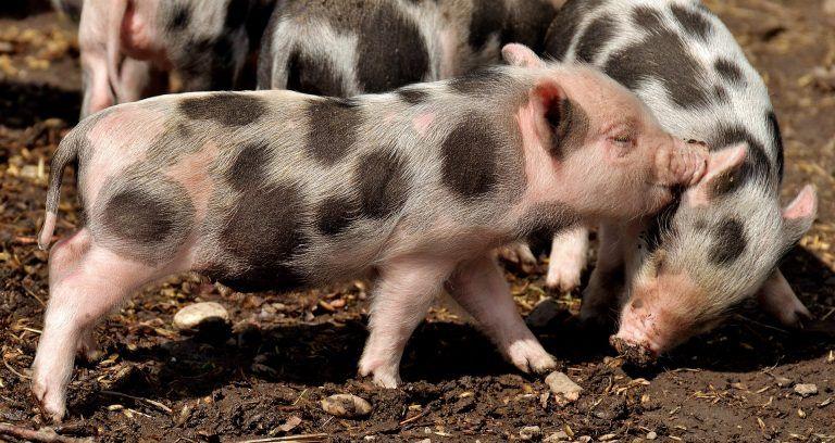 Hautkrankheiten Bei Ratten Erkennen Und Behandeln Farbratten Ratten Hautkrankheiten
