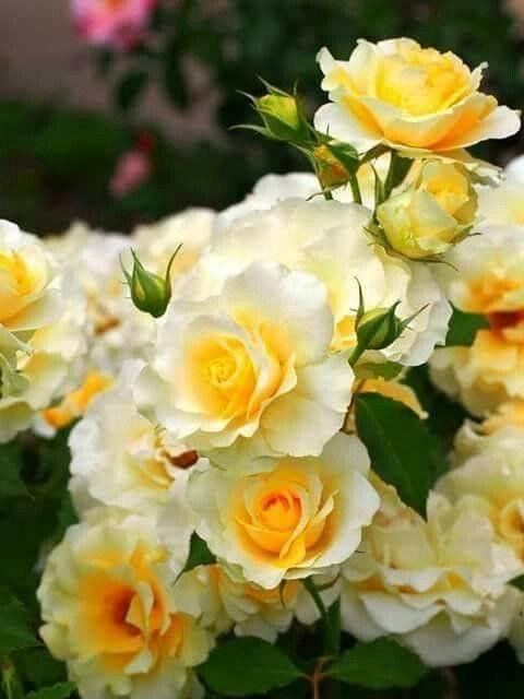 dreamiesde h863qky3mo6  blumen rosen beste blumen