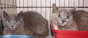 VANCE COUNTY ANIMAL SHELTER Henderson, NC. PLEASE REPIN!!!!!>>>>WISKERS & CINDY is an adoptable Domestic Short Hair-Gray Cat in Henderson, NC. OWNER HAS GIVEN THEM UP AND WANTS THEM TO FIND GOOD HOMES.THEY ARE SIX MONTHS OLD,LITTER TRAINER AND UTD ON VACCINATIONS....