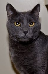 Adopt Chelsey On Grey Cats Cat Inc Cats