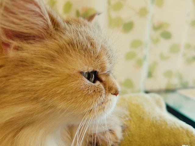 あずきプロファイル #ねこカフェなる #猫カフェなる #長野県長野市 #猫カフェ #naganojapan #catcafe #nekocafenaru #nekocafe #neko #catscafe #catstagram #cats_of_instagram #catstuff #cat #cats #ねこカフェ #ネコカフェ #あずき #チンチラゴールデン