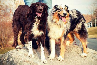 All Australian Shepherds All The Time Australian Shepherd Aussie Puppies Dogs