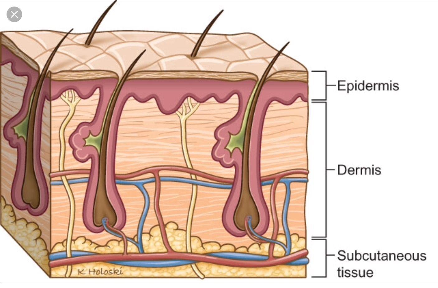 medium resolution of subcutaneous tissue bombshell hair head and neck hair studio body works