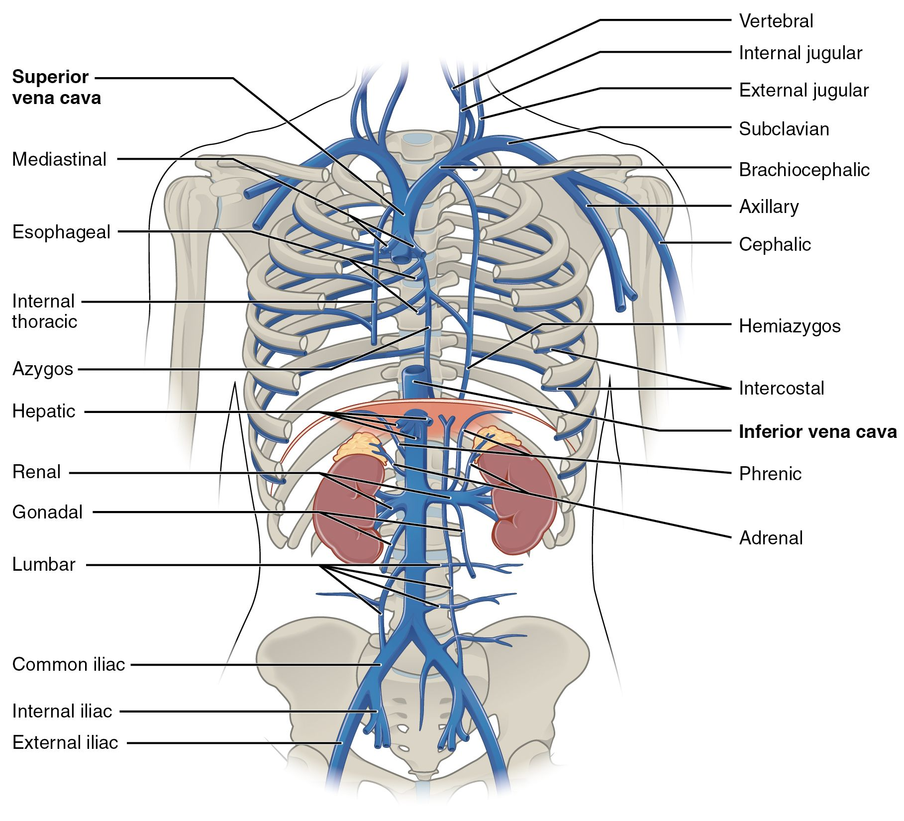 Brachiocephalicvein This Diagram Shows The Veins Present In The