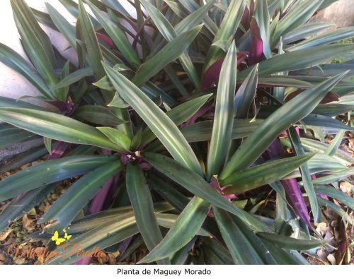 Maguey o agave: conoce sus increbles BENEFICIOS y usos 29