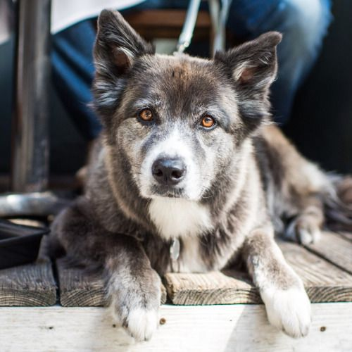 Finley Border Collie Siberian Husky Mix 4 Y O West 4th Perry