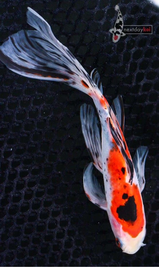Goldfish shubunkin eye candy fishtank pinterest for Pesce rosso butterfly